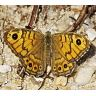 wall_brown_lasiommata_megera_female-96x96