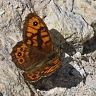 wall_brown_lasiommata_megera_male-96x96