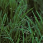 Whorl-grass Catabrosa aquatica